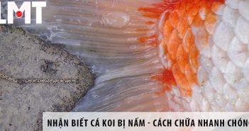 Nhận biết cá Koi bị nấm - Cách chữa nhanh chóng nhất