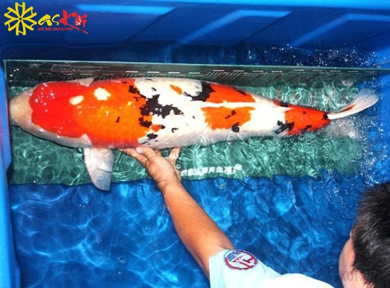 Những người mới nuôi cá koi có thể sử dụng tank nhựa